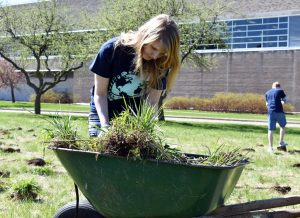 Sophomore Margot Elliott sorts through the wheelbarrow full of prairie plants the volunteers dug up from the sidewalk by Kolf and the Student Rec Center.