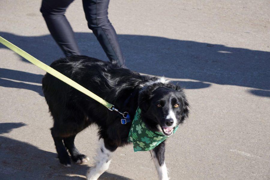 Four legged friends joined in on the St. Patty's Day fun!