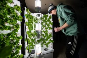 Lettuce grown hydroponically on campus