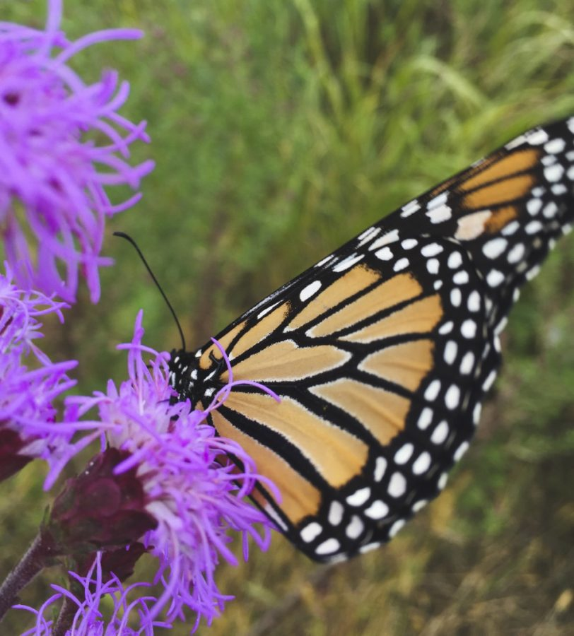 monarch+butterfly