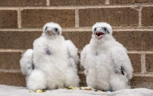 Peregrine falcons hatched at UWO