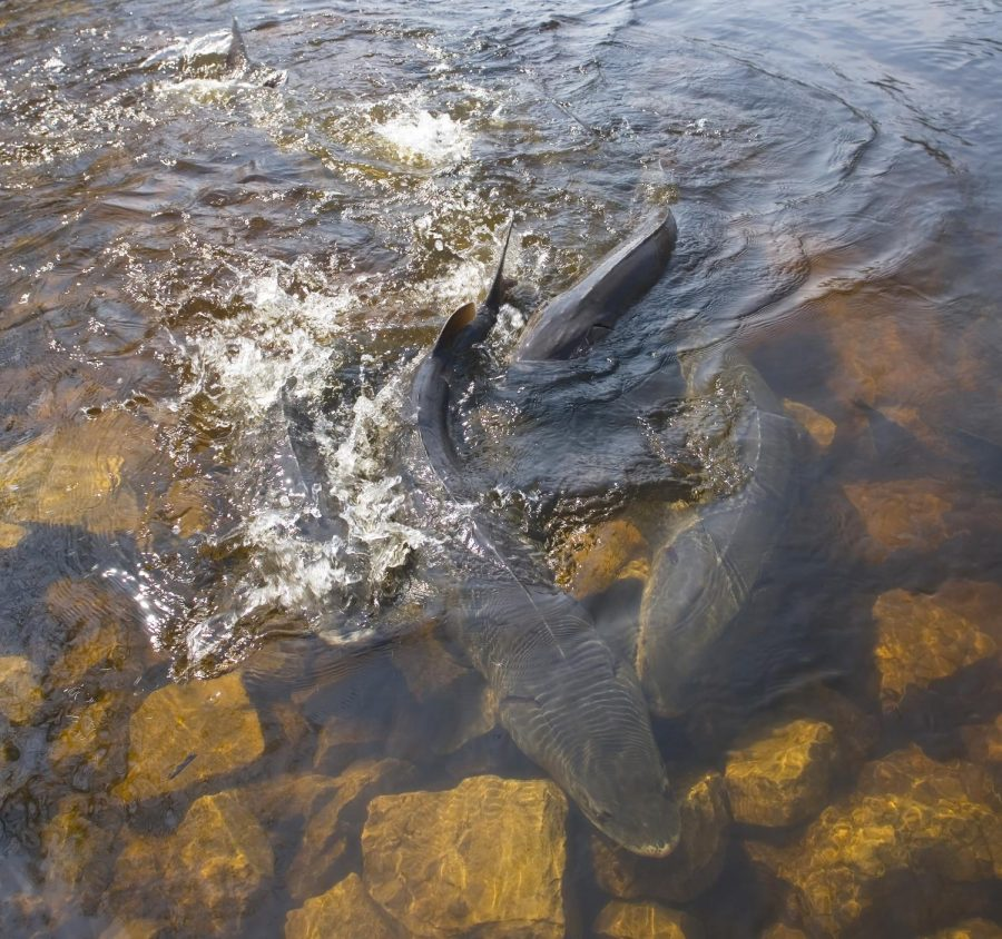 Sturgeon+usually+spawn+in+Winnebago+System+in+mid-+to+late-April%2C+depending+on+water+temperature.