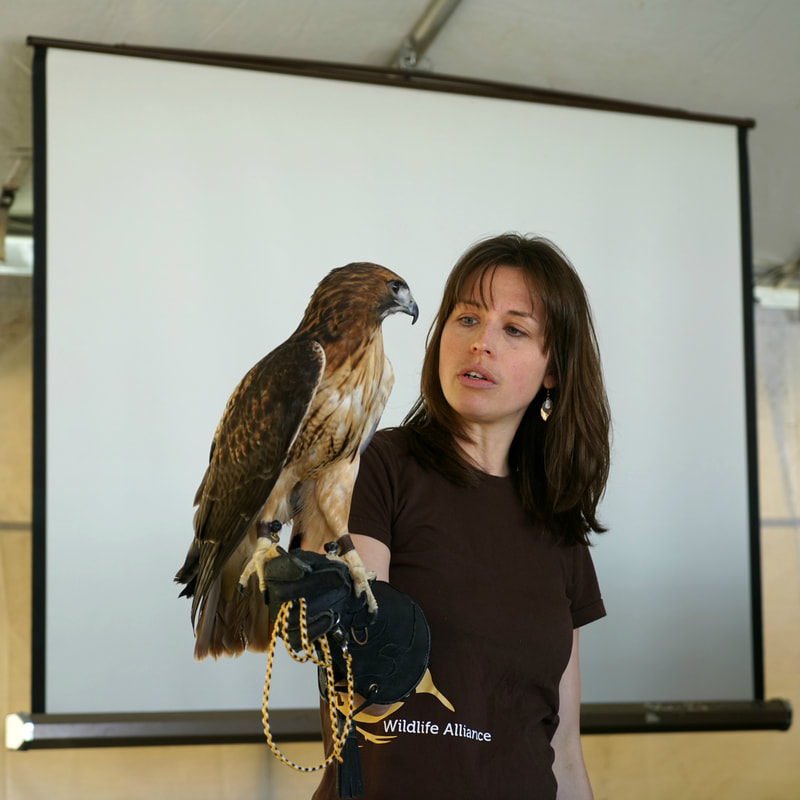 Courtesy of Oshkosh Bird Fest Attendees will have the opportunity to see birds such as owls, hawks and falcons up close in the event's Live Birds of Prey Walk.
